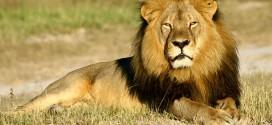 150730_SCI_Cecil_lion.jpg.CROP.promo-xlarge2